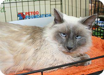 Himalayan Cat for adoption in Asheville, North Carolina - Gucci