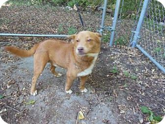 German Shepherd Dog Mix Dog for adoption in Gary, Indiana - Dakota