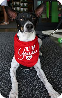 Fox Terrier (Toy) Dog for adoption in Baton Rouge, Louisiana - Peter
