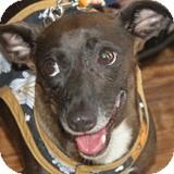 Dachshund Mix Dog for adoption in Houston, Texas - Sugar Boots
