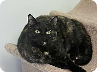 Domestic Shorthair Cat for adoption in Hawthorne, California - Gabby