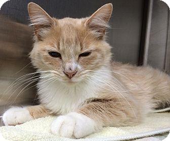 Turkish Van Cat for adoption in Fruit Heights, Utah - Rhonda
