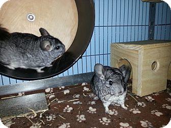 Chinchilla for adoption in Jacksonville, Florida - Milo & Otis