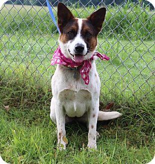 Australian Cattle Dog/Blue Heeler Mix Dog for adoption in Muldrow, Oklahoma - Ruby