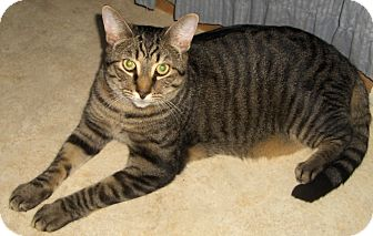 Domestic Shorthair Cat for adoption in Richmond, Virginia - Wyatt