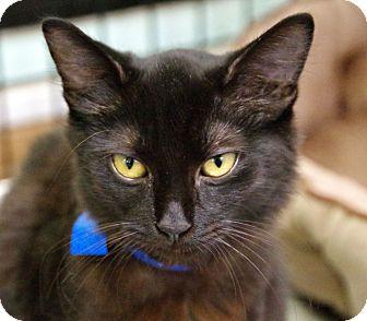 Domestic Shorthair Cat for adoption in Daytona Beach, Florida - Alistar