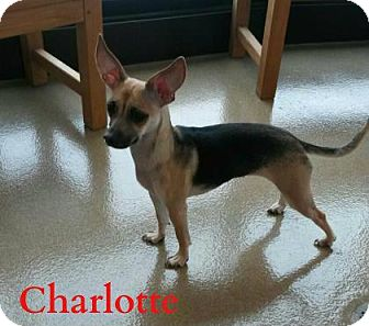 Chihuahua Mix Dog for adoption in Lewisville, Texas - Charlotte