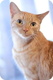 Domestic Shorthair Cat for adoption in Indianapolis, Indiana - Meow Meow Kitty