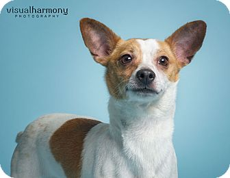 Jack Russell Terrier Mix Dog for adoption in Phoenix, Arizona - Jerry