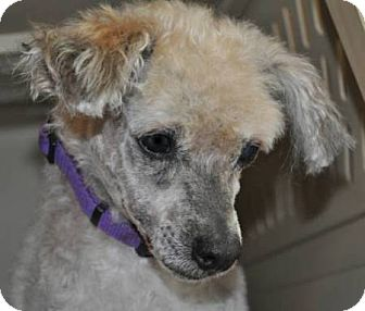 Poodle (Toy or Tea Cup) Dog for adoption in Elk River, Minnesota - SABIAN
