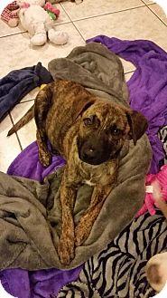 German Shepherd Dog Mix Puppy for adoption in Von Ormy, Texas - Journey