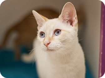 Siamese Kitten for adoption in Dallas, Texas - Dante