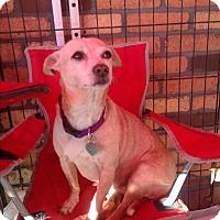Adopt A Pet :: Sugar - North Hollywood, CA