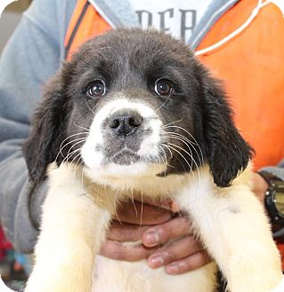 Great Pyrenees/Labrador Retriever Mix Puppy for adoption in Milford, New Jersey - Carter