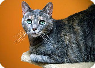Domestic Shorthair Cat for adoption in Norwalk, Connecticut - Miss Piggy