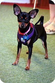 Miniature Pinscher Mix Dog for adoption in Portland, Oregon - Rosie