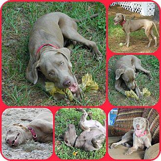 Weimaraner/Labrador Retriever Mix Dog for adoption in Inverness, Florida - ARI