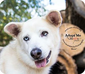 Husky Dog for adoption in New Milford, Connecticut - Bean