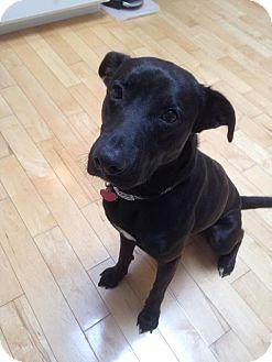 Labrador Retriever Mix Dog for adoption in Lebanon, Maine - Cooper