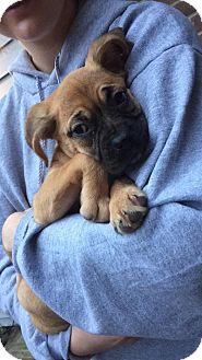 Boxer Puppy for adoption in Hainesville, Illinois - Blanche