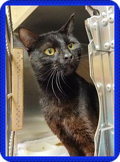 Domestic Shorthair Cat for adoption in Marietta, Georgia - PEPPER