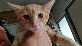 Domestic Shorthair Cat for adoption in Hudson, Florida - minnie