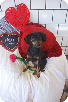 Miniature Pinscher/Dachshund Mix Dog for adoption in Saddle Brook, New Jersey - Moe