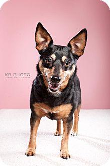 Miniature Pinscher/Chihuahua Mix Dog for adoption in Huntsville, Alabama - Tacobella