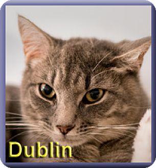 Domestic Shorthair Cat for adoption in Aldie, Virginia - Dublin