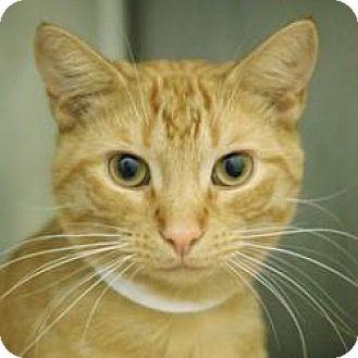 Domestic Shorthair Cat for adoption in Hilliard, Ohio - Stetson