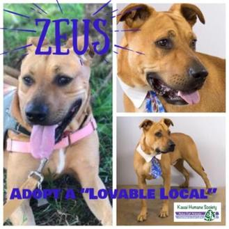 Hound (Unknown Type)/American Pit Bull Terrier Mix Dog for adoption in Lihue, Hawaii - Zeus