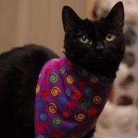 Domestic Shorthair/Domestic Shorthair Mix Cat for adoption in Everett, Ontario - Dakoda