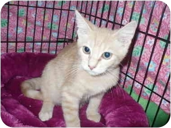 Domestic Shorthair Kitten for adoption in Colmar, Pennsylvania - Biggles