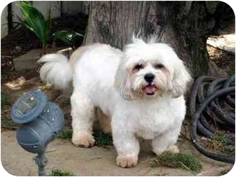Lhasa Apso/Poodle (Miniature) Mix Dog for adoption in Los Angeles, California - FINLEY