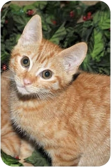 Domestic Shorthair Kitten for adoption in Tracy, California - Max-ADOPTED!