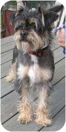 Yorkie, Yorkshire Terrier/Schnauzer (Standard) Mix Dog for adoption in Old Bridge, New Jersey - Astro