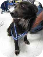 Corgi/Labrador Retriever Mix Dog for adoption in tucson, Arizona - Spatz