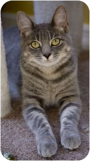 Domestic Shorthair Cat for adoption in Chicago, Illinois - Farrah
