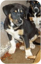 Rottweiler/Shepherd (Unknown Type) Mix Puppy for adoption in Gaffney, South Carolina - Jodie