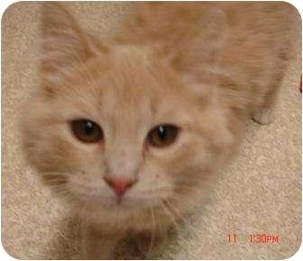 Domestic Mediumhair Cat for adoption in Grants Pass, Oregon - Kristi