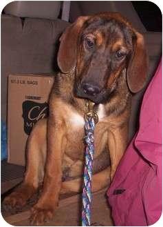 Bloodhound/Shepherd (Unknown Type) Mix Dog for adoption in Paintsville, Kentucky - Duke