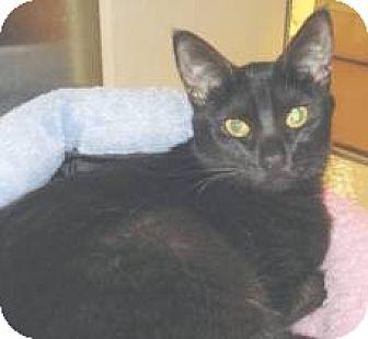 Domestic Shorthair Cat for adoption in Miami, Florida - Masonette