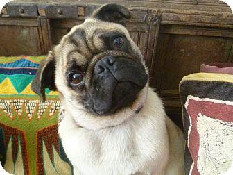 Pug Dog for adoption in Van Nuys, California - Herbie
