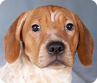Beagle/Shar Pei Mix Puppy for adoption in Chicago, Illinois - Dustin