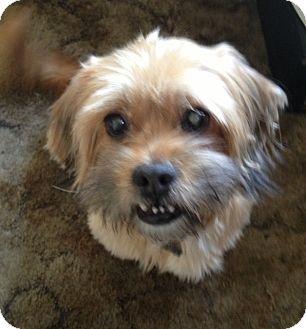 Lhasa Apso Mix Dog for adoption in Studio City, California - Beng Beng