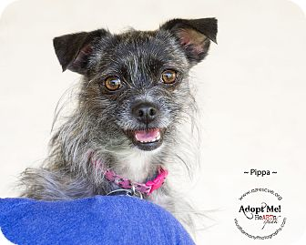 Terrier (Unknown Type, Small) Mix Dog for adoption in Phoenix, Arizona - Pippa