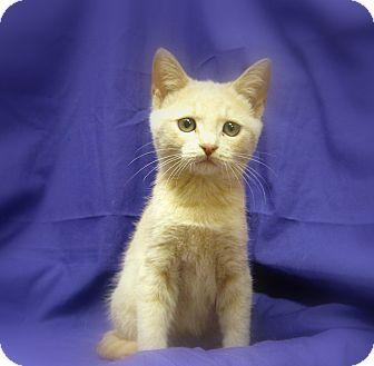 Domestic Shorthair Kitten for adoption in Richmond, Virginia - Ollie