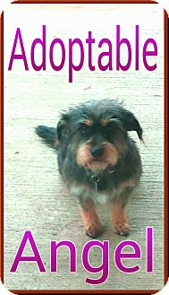 Dachshund/Yorkie, Yorkshire Terrier Mix Dog for adoption in Katy, Texas - angel