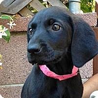 Adopt A Pet :: Ebony - Inglewood, CA