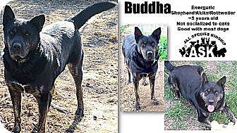 German Shepherd Dog/Rottweiler Mix Dog for adoption in Battle Creek, Michigan - Buddha